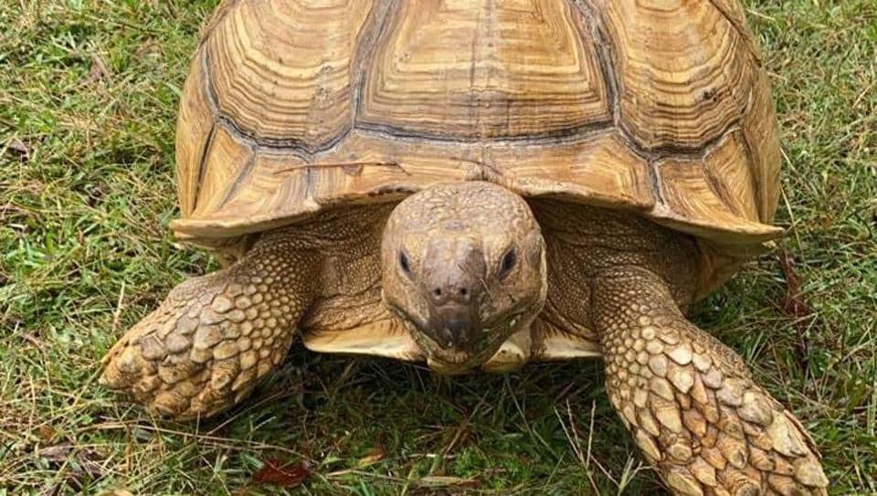The image shows Sparkplug, a 60-year-old African spurred tortoise.