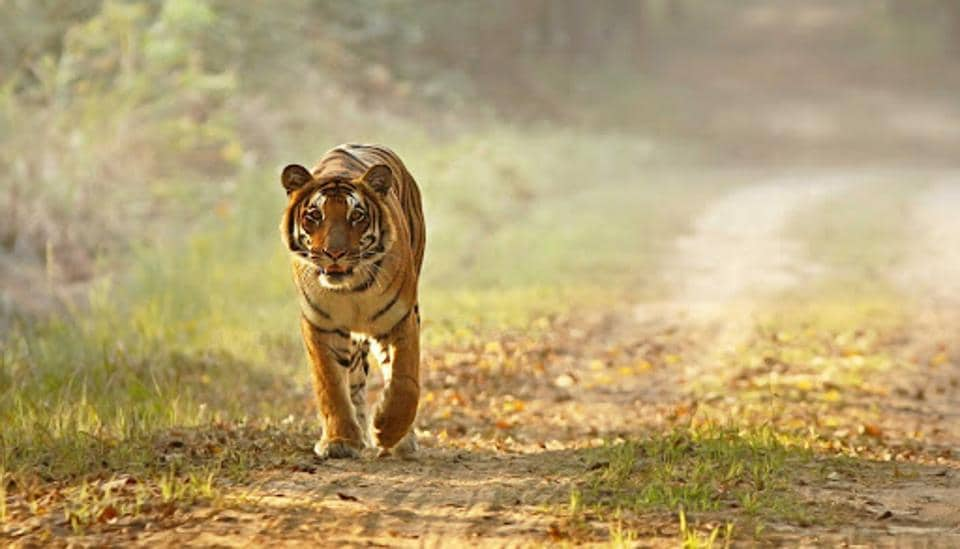 Image of a tiger walking in the Dudhwa Tiger Reserve in Uttar Pradesh.