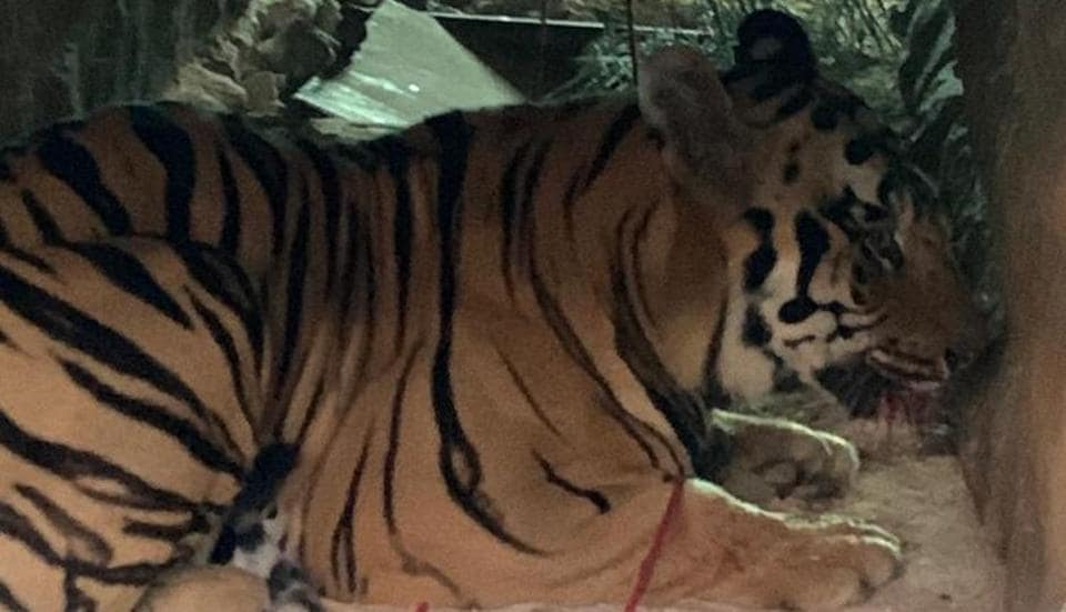 The tiger is at Chandrapur transit treatment centre and will be later shifted to the rescue centre in Nagpur.