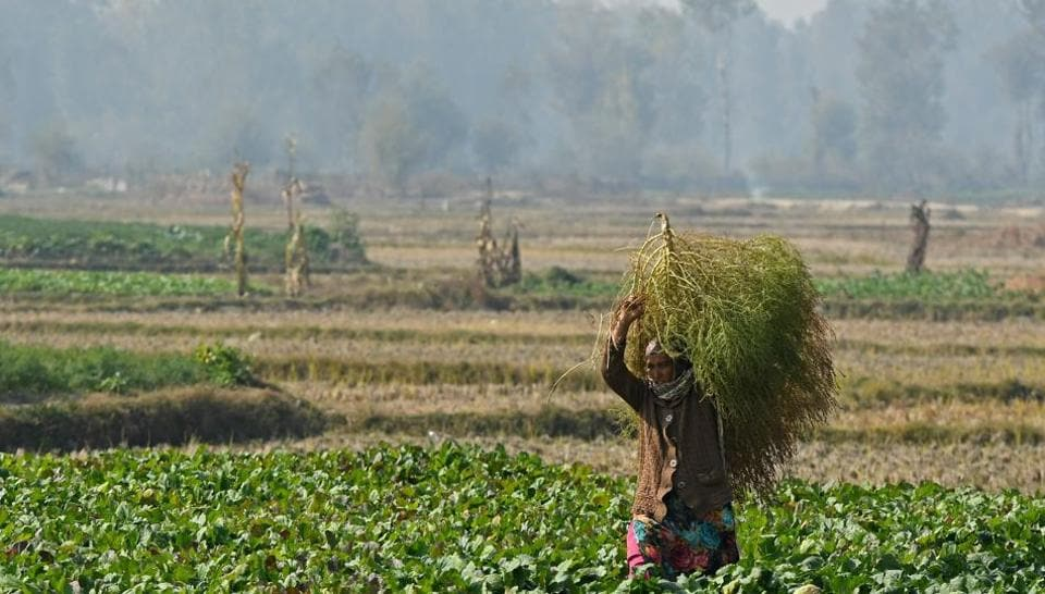 A farmer carries a bunch of grass at a vegetable field on the outskirts of Srinagar on October 27.