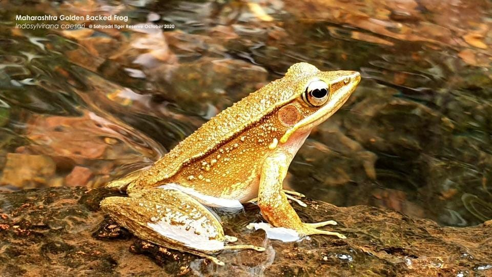 The golden-backed frog