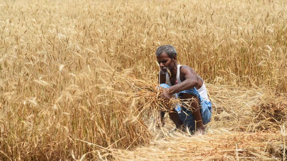 A farmer harvest wheat crop in a field in Patna during nationwide lockdown in April 2020.