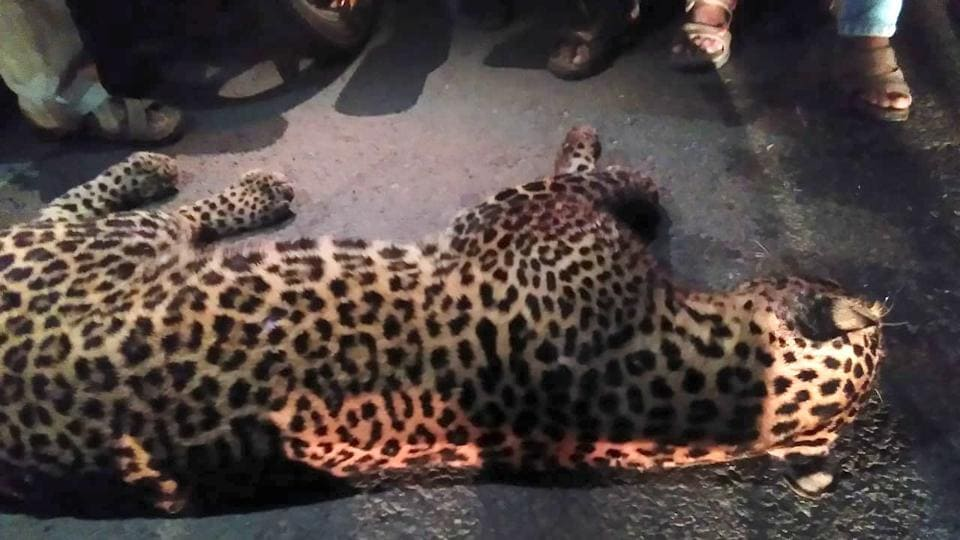 The leopard suffered multiple haemorrhages and  fractures.