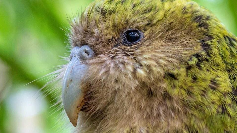 The image shows the winner Kakapo.