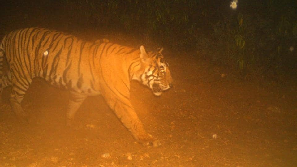 An image of T-38 caught on a camera trap.