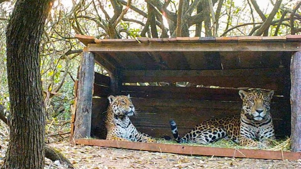 Tania (L), a female jaguar brought up in a zoo, and a male jaguar christened Qaramta, sit together in a breeding enclosure at the Impenetrable National Park, in the Chaco Province, Argentina October 17, 2020.
