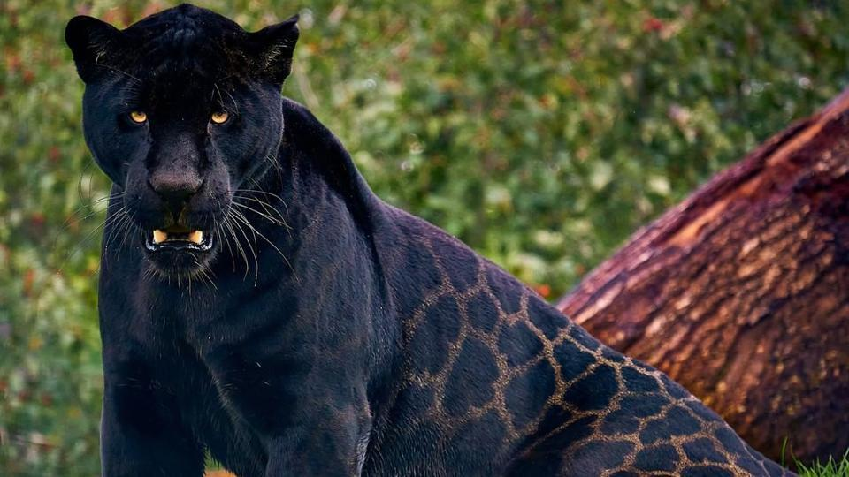 Images of gorgeous black jaguar named Neron will make you go wow. Seen them yet?