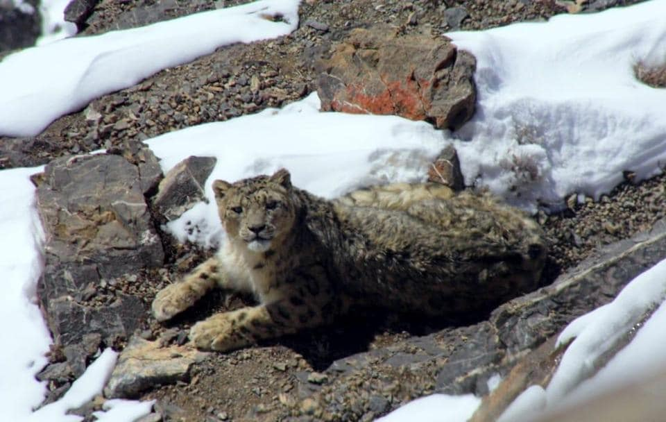 Regular sightings indicate rise in number of snow leopards in HP