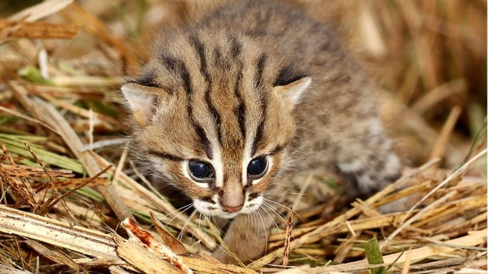 26 wild rusty-spotted kittens reunited with mothers across Maharashtra farms over 6 years