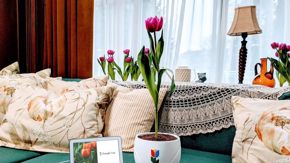 Grown in the Netherlands, Google Tulip can talk to plants